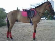 Срочно продам коня(мерин)