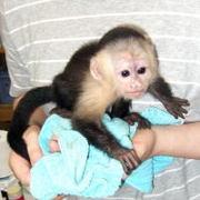 Милые и веселые обезьяны капуцин.