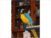 Женский синий и золотой ара