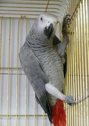 Ручной птенец-выкормыш алохвостого Жако
