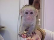 Капуцин обезьян для продажи Up