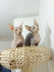 Канадские Сфинксы - очаровательные котята