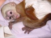 Очаровательны капуцин обезьян