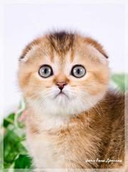 Продажа элитных шотландских и британских котят с питомника