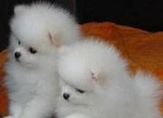 Два очаровательны щенки померанского